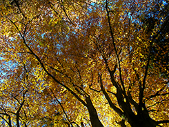 "Beech Trees in Devon in all their Autumn Glory"" hspace="