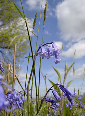 "Bluebells-in-the-Mendips"" hspace="