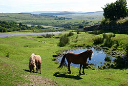 """Dartmoor ponies"""" hspace="""