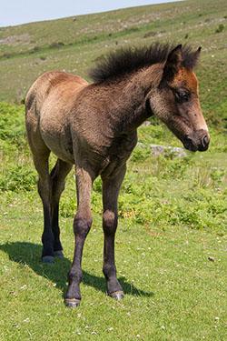 """Dartmoor Pony"""" hspace="""