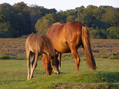 "New Forest Pony with foal"" hspace="