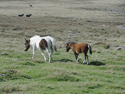 "Ponies on Okehampton Common"" hspace="