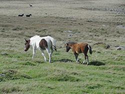 """Ponies on Okehampton Common"""" hspace="""