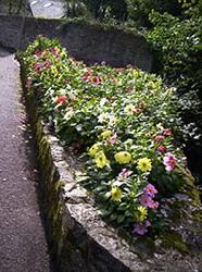 Pretty flowers at Lyme Regis