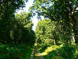 "Twelve o'clock Drive, Savernake Forest"" hspace="