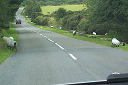 "Sheep on the road, Dartmoor"" hspace="