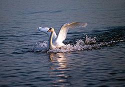 "Swan at Abbotsbury"" hspace="