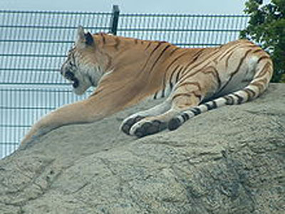 Tiger at Sandown Zoo