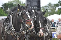 "Heavy Horses"" hspace="