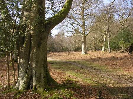 "Oaks and beeches in the New Forest in winter."" hspace="