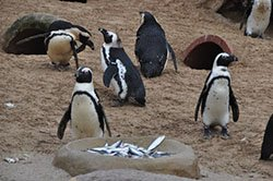 "Dinner time for the  African Penguins"" hspace="