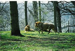 "Lions at Longleat"" hspace="