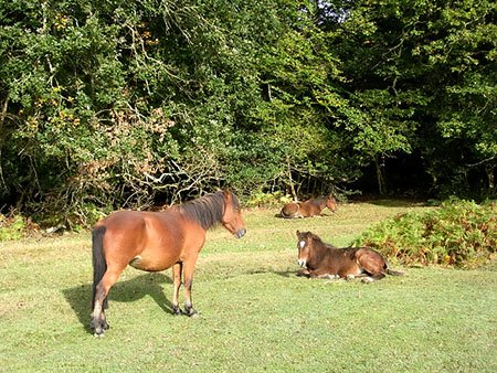 "Ponies in the New Forest"" hspace="