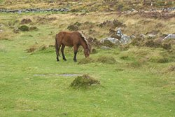A Dartmoor pony grazing