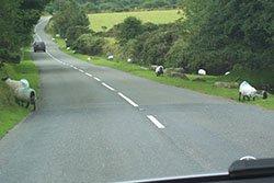 "Sheep on the road, Dartmoor"" hspace="