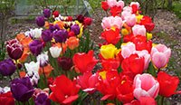 Tulips at Mottisfont Abbey
