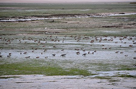 "Thousands of birds in the Exe Estuary"" hspace="